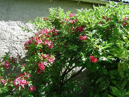 weigelia rouge