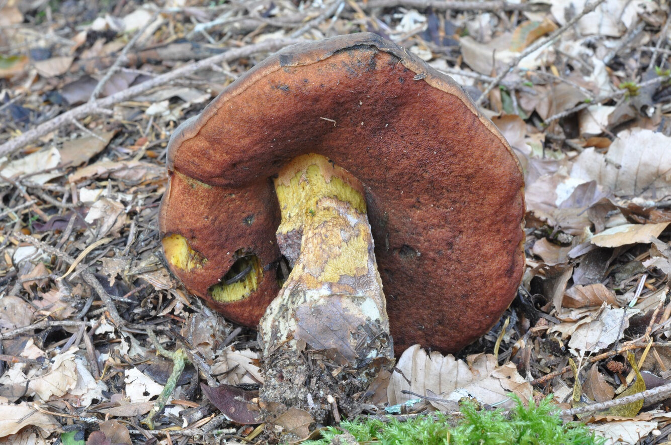 Boletus erythropus (2)