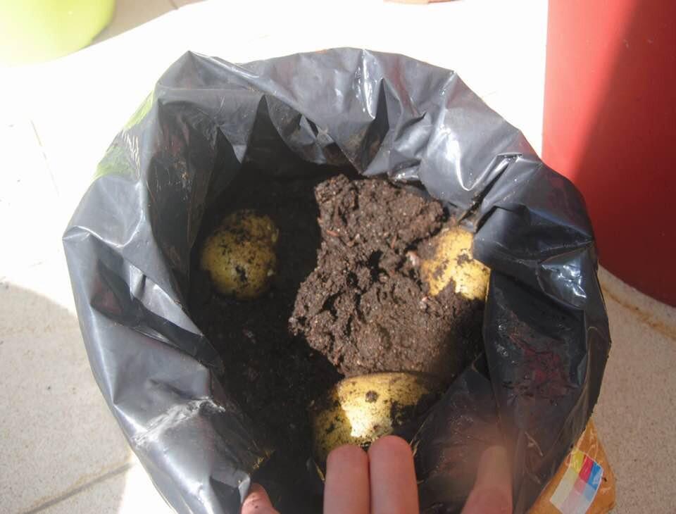 Faire pousser des patates sur sa terrasse !