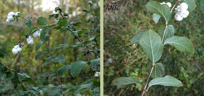 rameaux grêles glabres flexibles feuilles entières glauques dessous