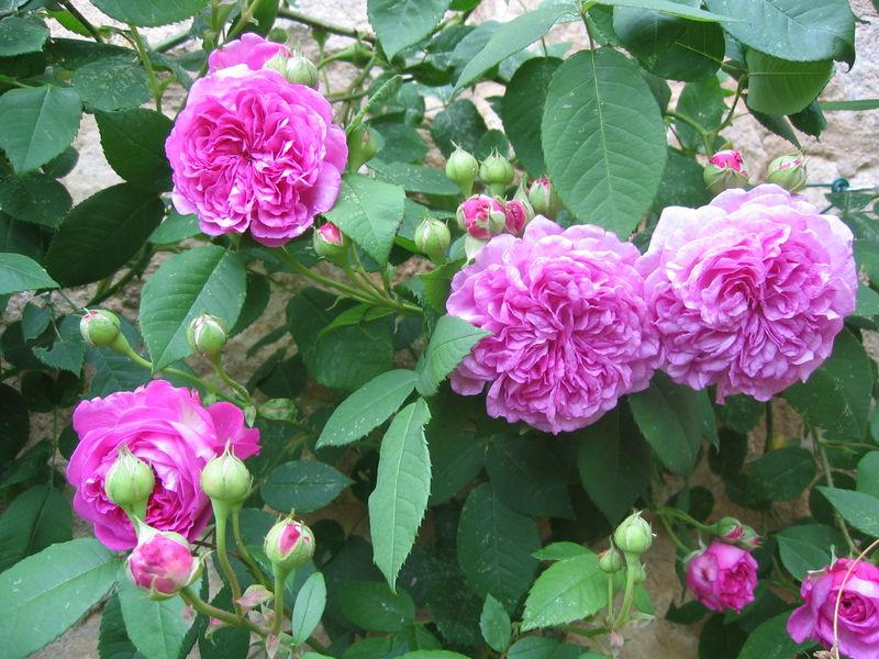 Rose ancienne : 'Olivet'