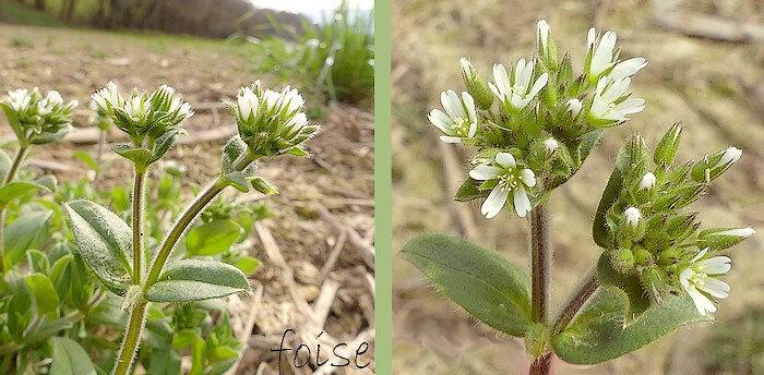 fleurs petites agglomérées en cyme serrée velue-glanduleuse