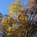 2009 10 30 Les feuilles de bouleau au couleurs d'automne