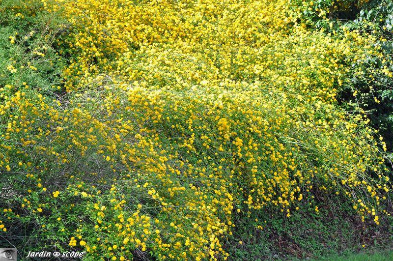 Un Arbuste Constelle D Etoiles Jaunes Au Printemps Le Jardinoscope