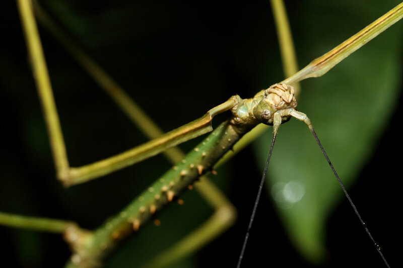 Phanocloidea muricata (femelle subadulte)
