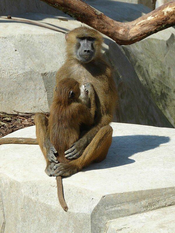 babouin guinée4