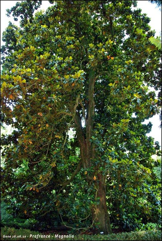 31-30-Prafrance-Magnolia