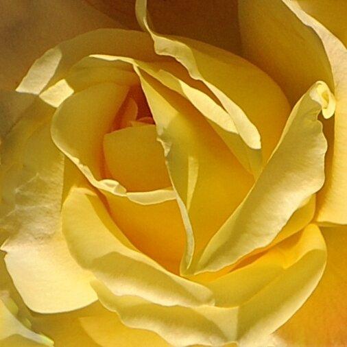 Coeur Rose jaune