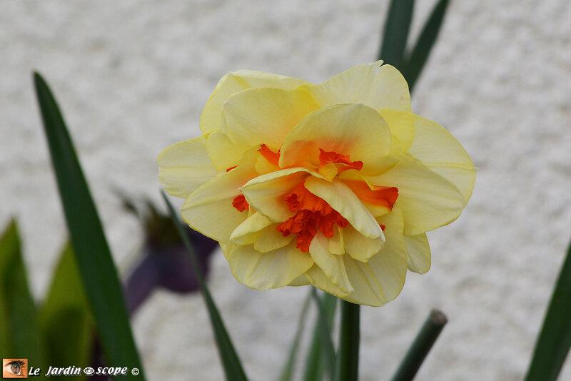 Narcisses doubles Tahiti