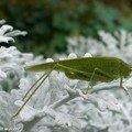 Phanéroptère méridional • Phaneroptera nana • famille des Tettigoniidae