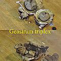 Geastrum triplex