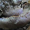 Cortinarius camphoratus (4)
