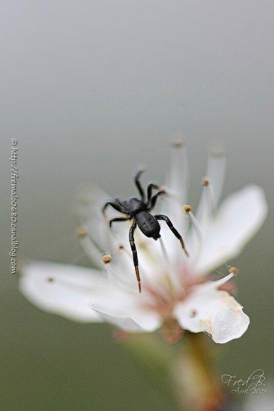 Drassillus sp (D. pusillus?)
