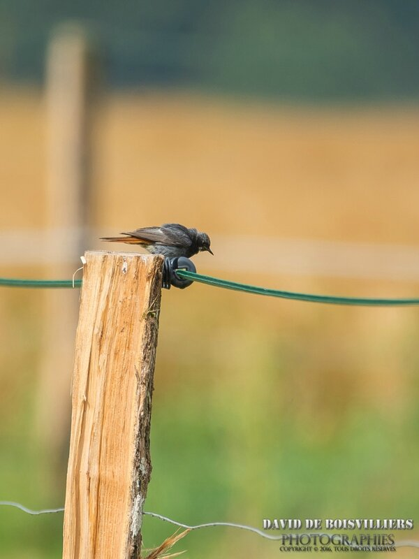 Rougequeue Noir (Phoenicurus ochruros - Black Redstart)