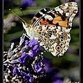 papillons (7)