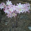 1-Amaryllis Belladonna