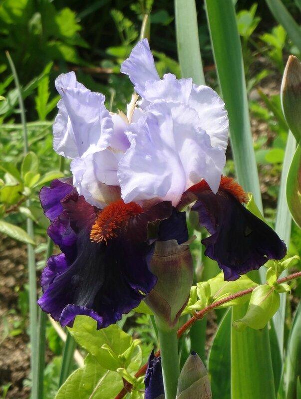 iris sharpshooter (1)