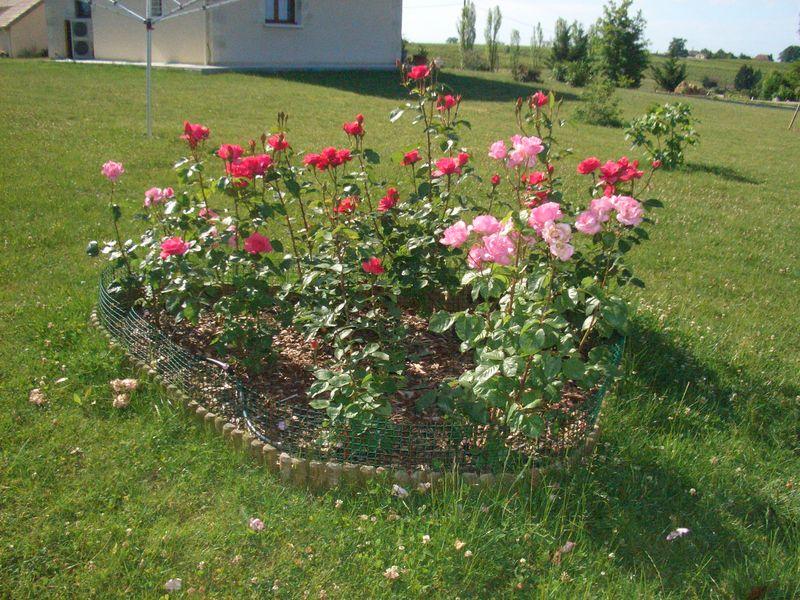 L\'évolution de mon massif rosiers - Au jardin enchanté