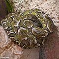 Boa de Madagascar • Sanzinia madagascariensis • famille des Boidae