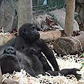 Guinee equatoriale - la présence de gorilles confirmée dans le parc national du mont alén, une première depuis 10 ans