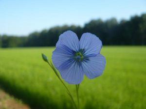 fleur_de_lin