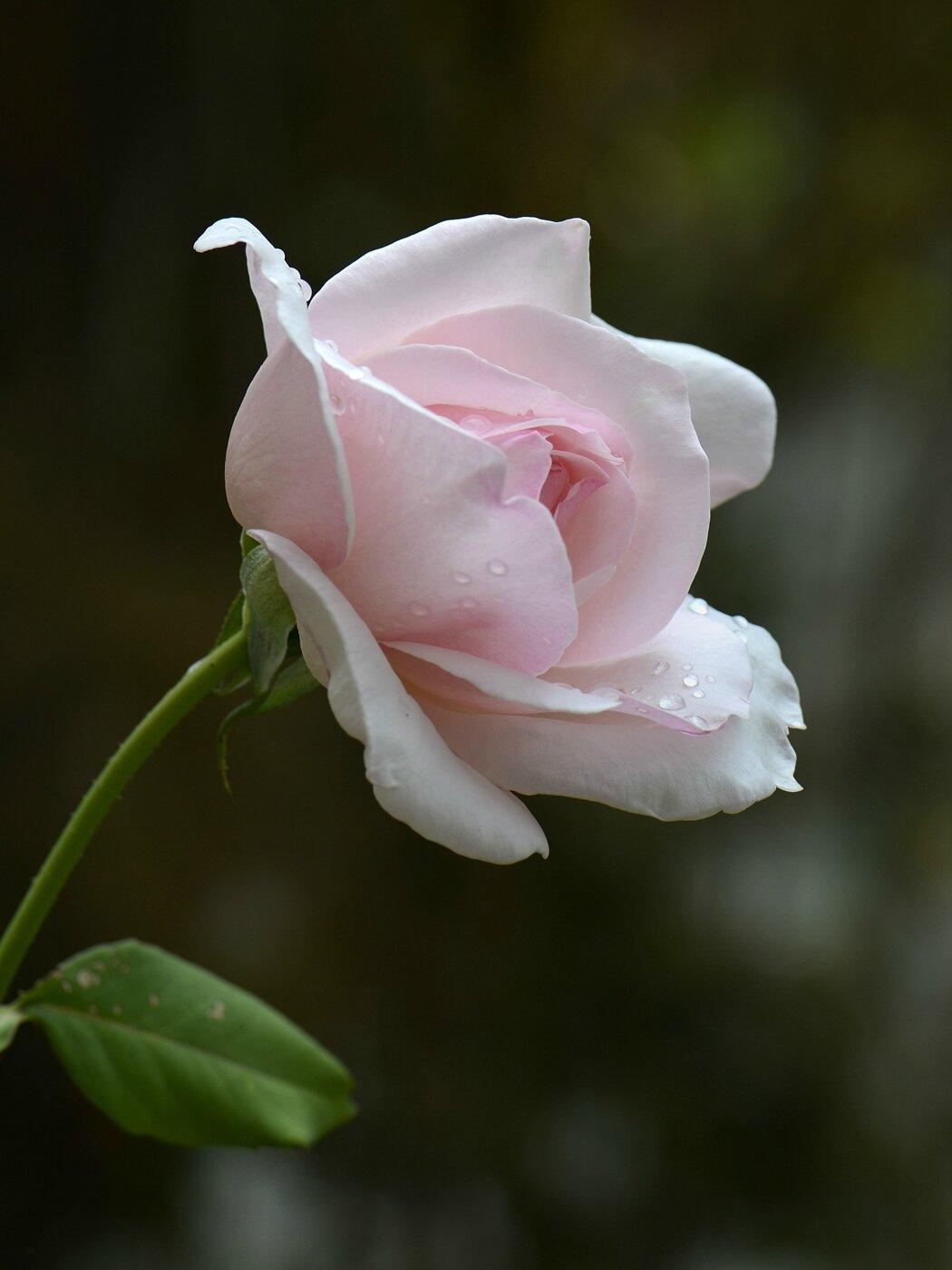 Rose retour