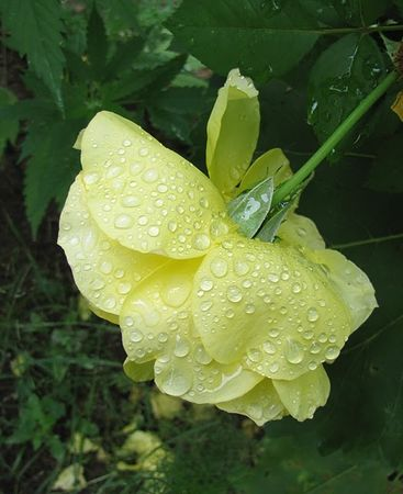 Yellow_Rose_with_Dew_back_garden