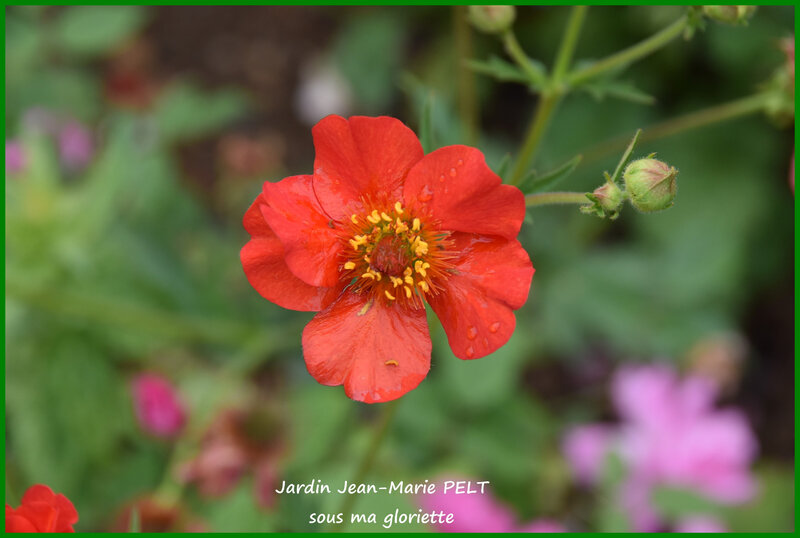 geum chiloense Feuerball