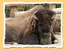 af_bison