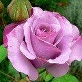 rose Dioressence