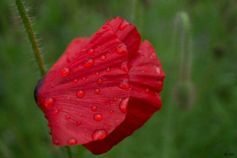 Coquelicot sous la pluie ...
