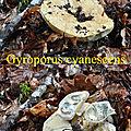 Gyroporus cyanescens
