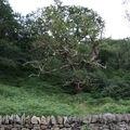 arbre pays de galles