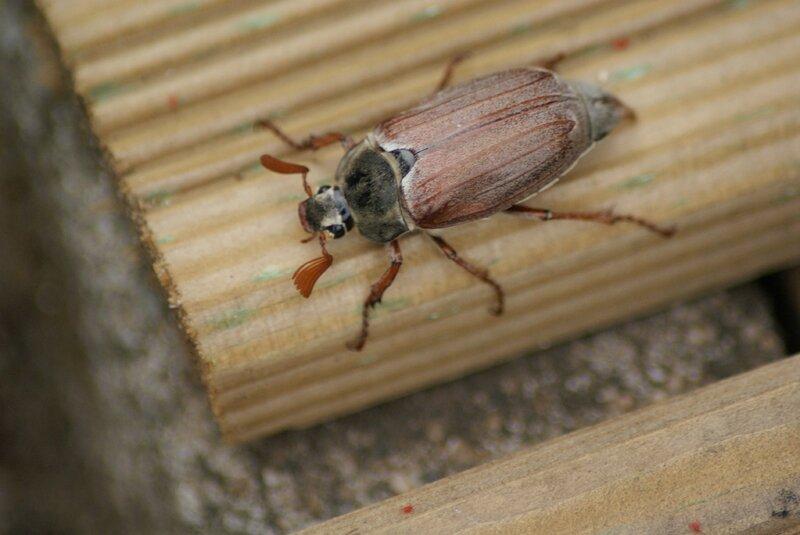 hanneton-melolontha melolontha 84