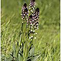 Orchis brulé : neotinea ustulata