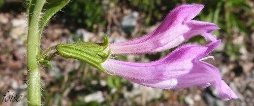 pédicelle court corolle purpurine tube arqué ascendant
