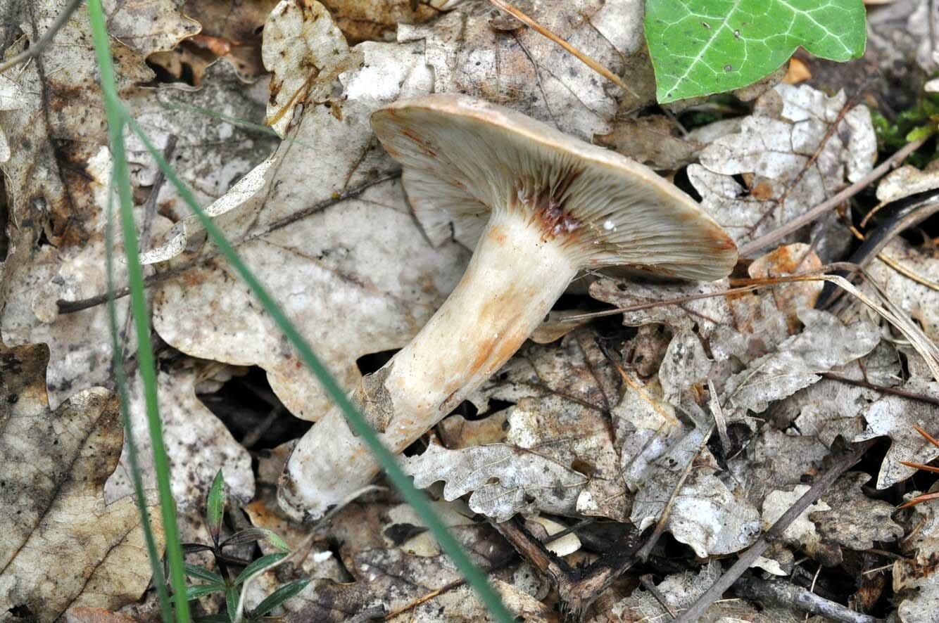 Lactarius fuliginosus (5)