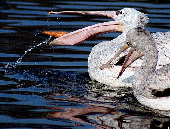 pelicanmiam01