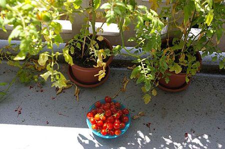tomates-du-balcon