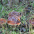Tricholoma batschii (1)
