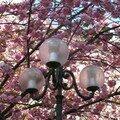 Cerisier du japon en fleurs