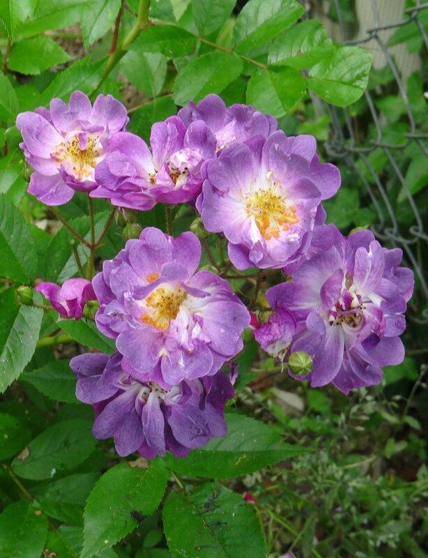 rosier veilchenblau