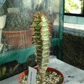 Euphorbia neohumbertii