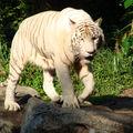 4- le zoo, félins, LES TIGRES (4)