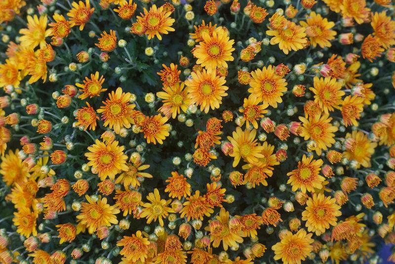chrysanthème - 1