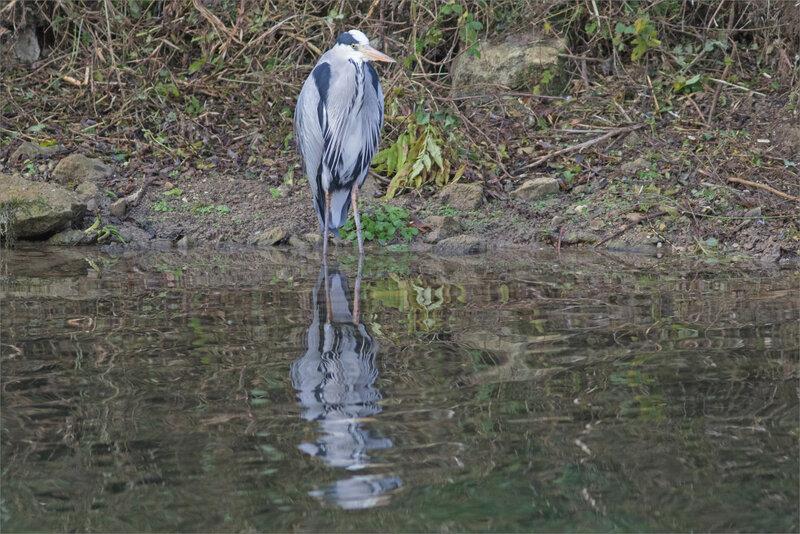 oiseau héron reflet tremblant 021220