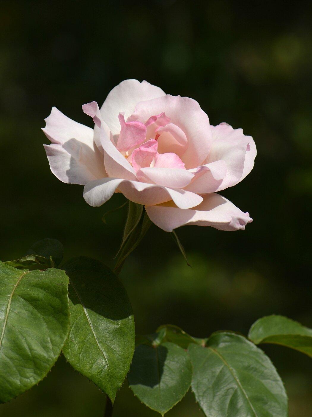 Rose sophie 2