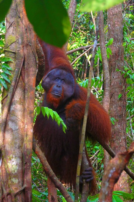 ORANG-OUTAN MALE ADULTE DANS LE PARC NATIONAL DE TANJUNG PUTING