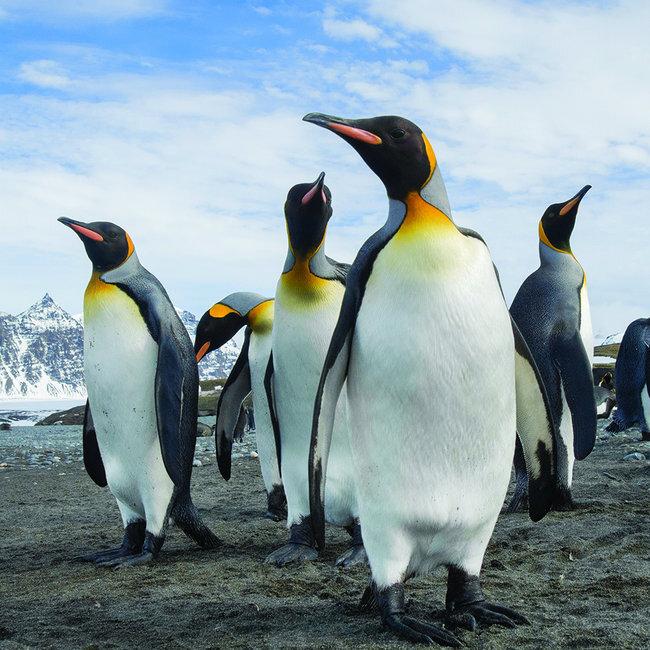 pingouin_2