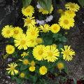 2009 05 18 Marguerite Doronicum Oriental